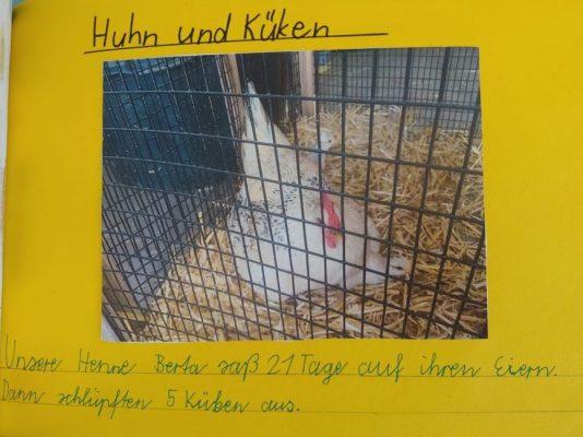 Haustier Huhn